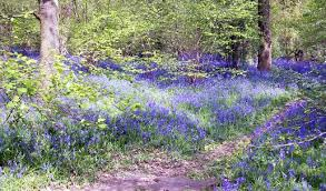 Bluebells In Dole Woods Thurlby Near Bourne