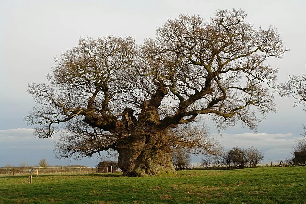 Oak Tree At Bowthorpe Farm, Bourne Lincolnshire